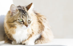 Tender female of siberian cat at the sun, brown white version Royalty Free Stock Photography