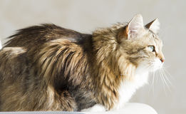 Tender female of siberian cat at the sun, brown white version. Brown white siberian cat at the sun Stock Photography