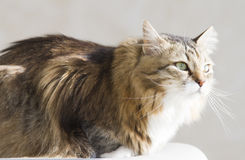 Tender female of siberian cat at the sun, brown white version. Brown white siberian cat at the sun Stock Photo