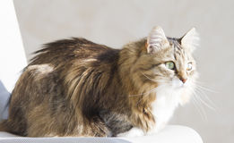 Tender female of siberian cat at the sun, brown white version. Brown white siberian cat at the sun Stock Images