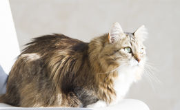 Tender female of siberian cat at the sun, brown white version Stock Photo