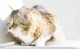 Tender female of siberian cat at the sun, brown white version. Brown white siberian cat at the sun Royalty Free Stock Photos