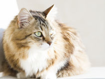 Tender female of siberian cat at the sun, brown white version. Brown white siberian cat at the sun Royalty Free Stock Photography