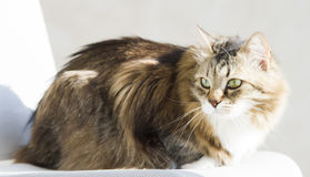 Tender female of siberian cat at the sun, brown white version Stock Image