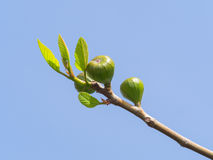 Tender fig branch with unripe fruits and small new leaves Stock Photos