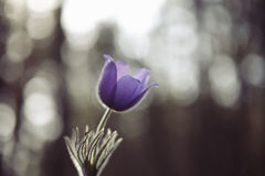 Tender first spring March flowers lilac blue pasque-flower, Royalty Free Stock Photography