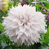 Tender flower. Big light pink bloom of dahlia Stock Photos