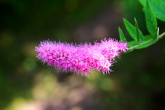 Tender flower pink terry spiraea Royalty Free Stock Images