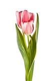 Tender flower, pink tulip Stock Photos