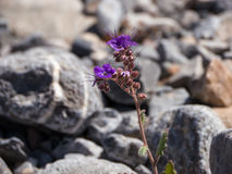 Tender Flower Among the Stones. Violet flower of desert. Death Valley, California Royalty Free Stock Photography
