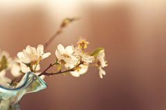 Tender flowering cherry branch Royalty Free Stock Photo