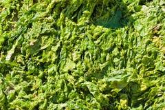 Tender green marine macro algae leaves, dense vegetation in direct bright sunshine, sea littoral zone. Flat lay background texture, natural pattern royalty free stock photography
