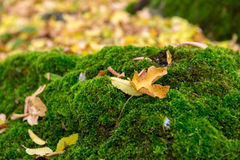 Tender green vegetation in the forest moss colonies Stock Images