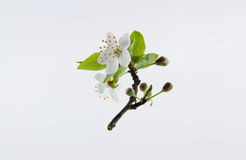 Tender inflorescences of fruit trees. Royalty Free Stock Images