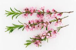 Tender inflorescences of fruit trees. Royalty Free Stock Photo