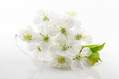 Tender inflorescences of fruit trees Royalty Free Stock Photography