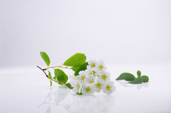 Tender inflorescences of fruit trees Stock Photo