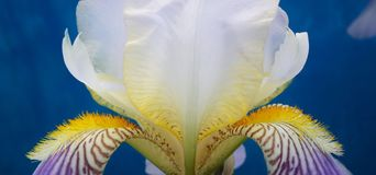 Tender iris flower  close-up  on blue background Royalty Free Stock Photography