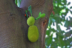 Tender Jack Fruits. Close-up of tender jack fruits (Artocarpus heterophyllus) in the tree. Also called Chakka in Kerala, where the fruit originated Stock Images
