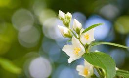 Tender Jasmine Flowers On Soft Blurred Background. Blossoming White Petals Plant, Summertime Garden Scene. Macro View Stock Photography