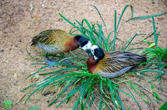 Tender kissing white-faced whistling ducks in the grass in Iguacu National Park Royalty Free Stock Photography