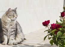 Tender kitten near a red roses Royalty Free Stock Photography