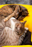 Tender kitties Royalty Free Stock Images