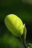 A tender leaf. Glowing in sunlight Royalty Free Stock Images