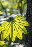 Tender leaf Royalty Free Stock Image