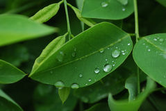 Tender Leaves with Raindrops. A spring rain washed off dust on the leaf, making the leaf fresh and lovely. The tender leaf gave us a sense of peace and vitality Royalty Free Stock Images