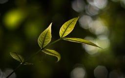 Tender leaves of Swietenia macrophylla stock images