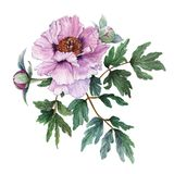 Tender light pink peony with leaves and buds on white background. Fresh flowering pink peony. Tree-like peony. Watercolor illustration Stock Photos