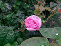 Tender light pink rose after the rain Royalty Free Stock Image