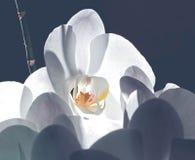 Tender light white orchid in dream stock images