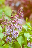 Tender lilac flowers branch Stock Photos