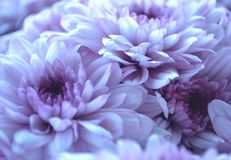 Tender lilac flowers stock images