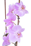 Tender lilac orchid closeup Royalty Free Stock Photo