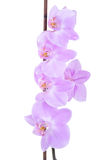Tender lilac orchid closeup Stock Photography