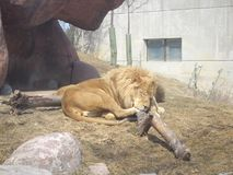 Tender lion having a nap at Toronto zoo royalty free stock image