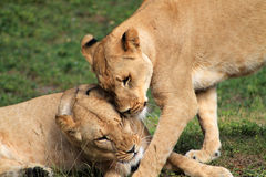 Tender lionesses budding heads Stock Photography