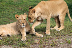 Tender lionesses budding heads. One lying on grass at local zoo Royalty Free Stock Images