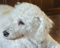 Tender Look Poodle Dog Stock Images