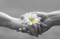 Tender love. Handshake with daisy(focus on the flower,special soft photo f/x Royalty Free Stock Photography