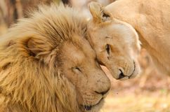 Tender Love. Loving, Tender Care - lions in love Stock Photography