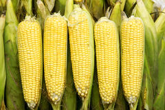 Tender maize cob Stock Images