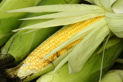Tender maize cob Royalty Free Stock Photos