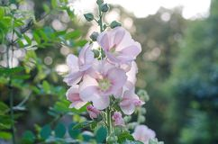 Tender mallow Malvaceae, Alcea Rosea, common hollyhock flowers. In a summer garden Stock Photos