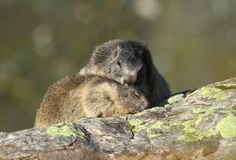 Tender marmot Stock Photos