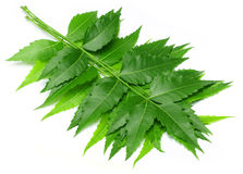 Tender medicinal neem leaves. Over white background Royalty Free Stock Photos