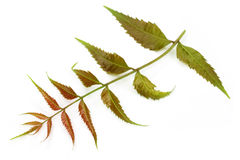 Tender medicinal neem leaves Stock Photography
